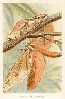 Giant moth chromolithograph 1896