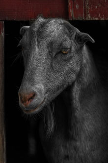 Goat in Red Barn Portrait