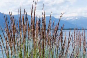 Grass against mountains and lake Geneva from the Embankment in Montreux. Switzerland