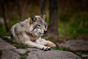 Gray Wolf On Rock