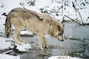 Gray wolf taking a drink