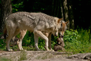Gray wolves and pup