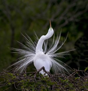 Great Egret mating display Florida