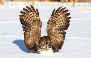 Great gray owl catches mouse