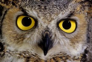 Great horn owl face close up