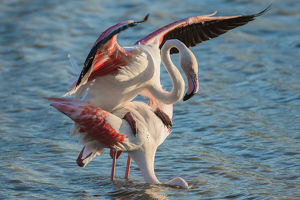 Greater Flamingo -Phoenicopterus roseus-, pair mating, copula, Camargue, Southern France
