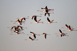 nature wildlife/flamingo wading bird/greater flamingo phoenicopterus roseus flock flight