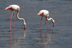Greater Flamingo -Phoenicopterus roseus-, foraging in shallow water, Camargue, France