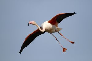 nature wildlife/flamingo wading bird/greater flamingo phoenicopterus roseus landing