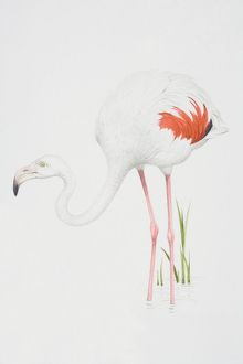 Greater Flamingo (Phoenicopterus ruber), white feathered body with pink feather detail.