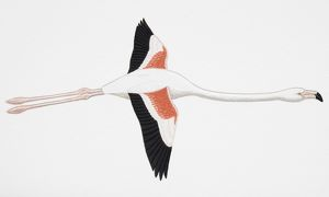 Greater Flamingo (Phoenicopterus ruber), adult