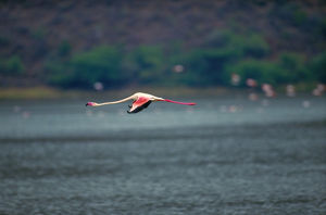 Greater flamingo (Phoenicopterus ruber) in flight