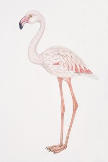 Greater Flamingo, Phoenicopterus ruber, side view.