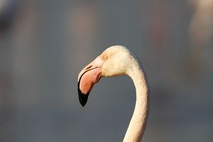 Greater Flamingoes -Phoenicopterus roseus-, portrait, Camargue, France, Europe