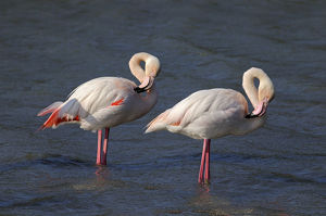 Two Greater Flamingos -Phoenicopterus roseus-, preening, Camargue, France, Europe