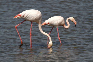 nature wildlife/flamingo wading bird/greater flamingos phoenicopterus roseus foraging