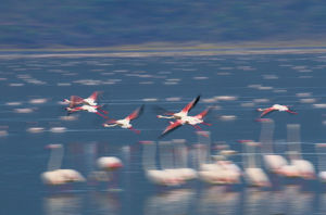 Greater flamingos (Phoenicopterus ruber) in flight
