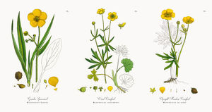 Greater Spearwort, Ranunculus Lingua, Victorian Botanical Illustration, 1863