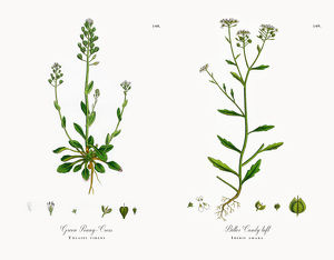 Green Penny-Cress, Thlaspi virens, Victorian Botanical Illustration, 1863
