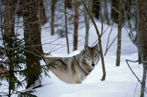 Grey wolf (Canis lupus) in FOREST, CANADA