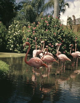 Group Flock Of Pink Flamingo Flamingos Wading In T
