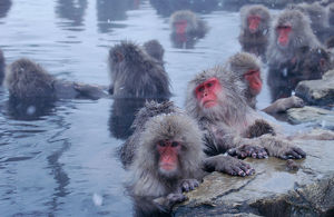 Group of Japanese macaques (Macaca fuscata) monkeys in hot spring