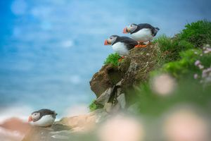 Group of Puffins on a cliff