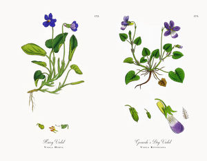Hairy Violet, Viola Hirta, Victorian Botanical Illustration, 1863