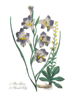Handcolored Sword Lilly and Star Grass Victorian Botanical Illustration