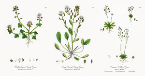 Hastate Scurvy Grass, Cochlearia Danica, Victorian Botanical Illustration, 1863