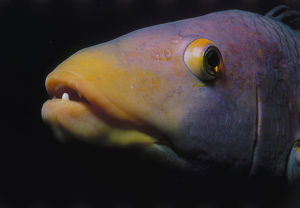 Head of Hogfish