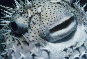 Head of Pufferfish