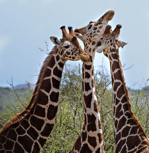 Three Heads are Better Than One - Reticulated Giraffes in Laikipia