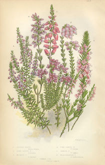 Heath, Heather, Ling, Scotland, Victorian Botanical Illustration