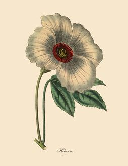 Hibiscus or Rose Mallow Plant, Victorian Botanical Illustration