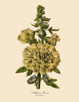 Hollyhock or Althaea Rosea Plant, Victorian Botanical Illustration