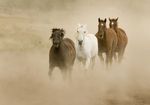 Horses running and kicking up dust