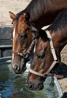 Horses Taking A Drink