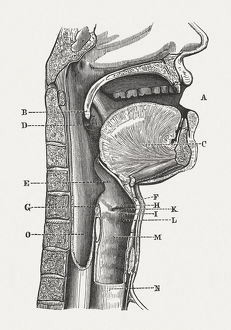 Human speech organs, wood engraving, published in 1880