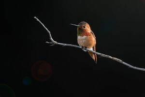 Hummingbird against Dark Background