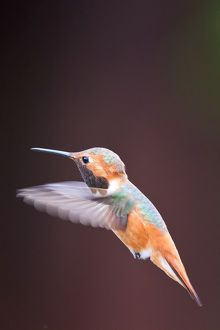 Hummingbird on flight