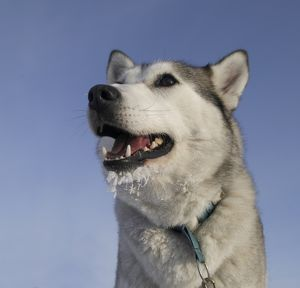 Husky with frost on beard, close-up