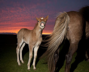 Icelandic foal smiling with mare at sunset