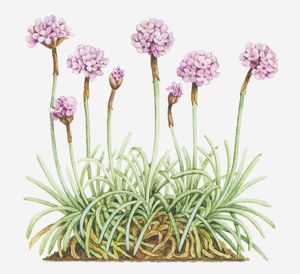 Illustration of Armeria maritima (Thrift, Sea pink), leaves and clusters of pink flowers