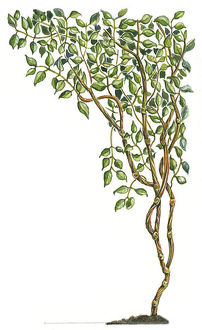 Illustration of Banisteriopsis caapi, a South American tropical rainforest vine used