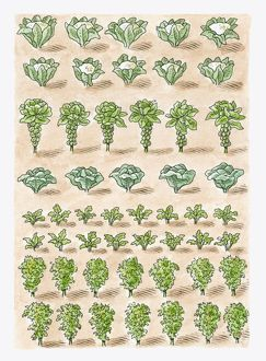 Illustration of cauliflower, Brussels Sprouts, cabbage, radish, Chinese Cabbage