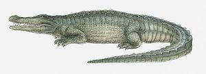 Illustration of a Deinosuchus, a crocodilian from the Late Cretaceous period