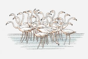 Illustration of flock of Lesser Flamingo (Phoenicopterus minor) standing in water