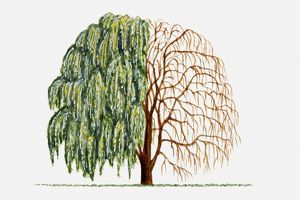 Illustration of green leaves and bare branches of Salix alba (Weeping Willow) tree