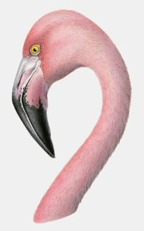 Illustration of the head of a Greater flamingo (Phoenicopterus roseus)